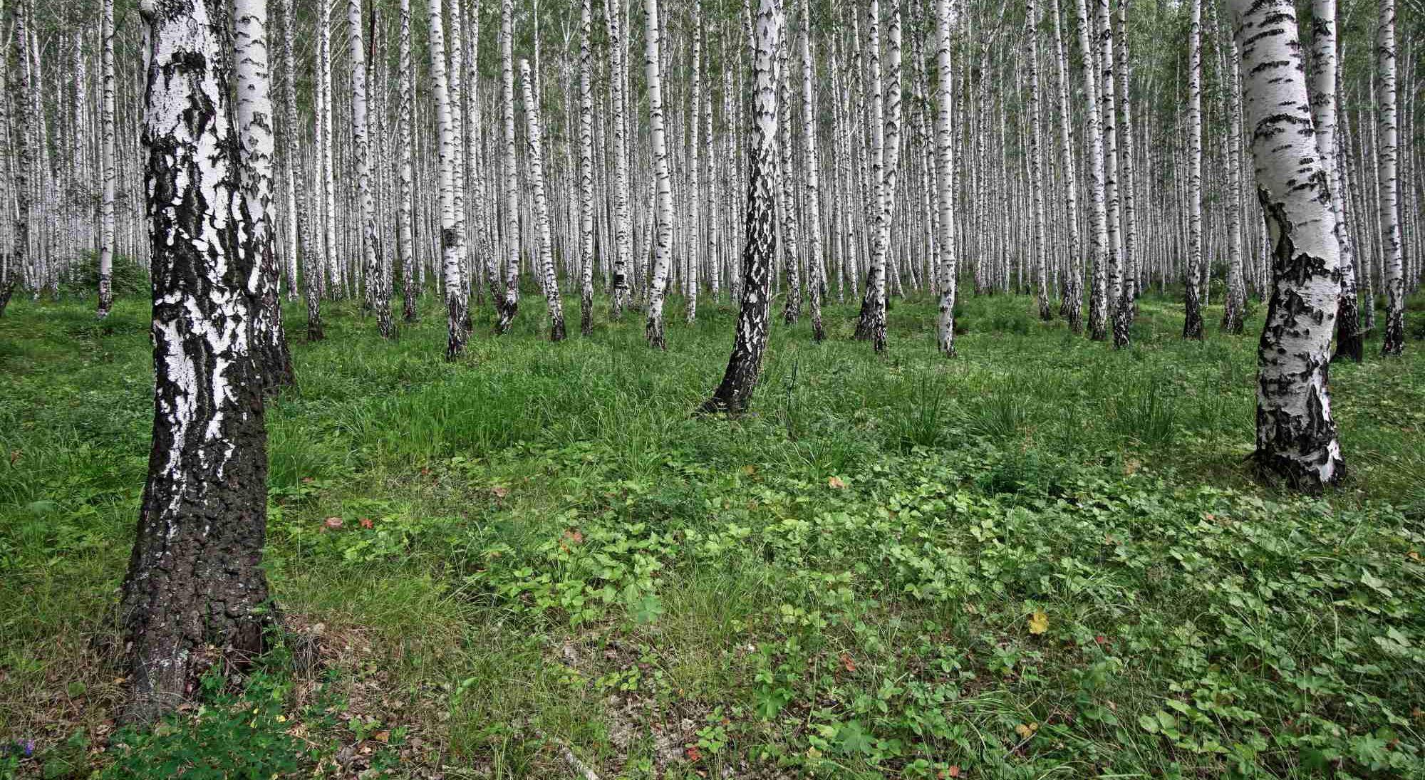 Brezovi gozdovi, stalni spremljevalec v južni Sibiriji